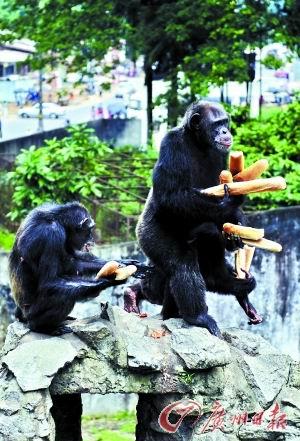 动物园的黑猩猩在分享食物.
