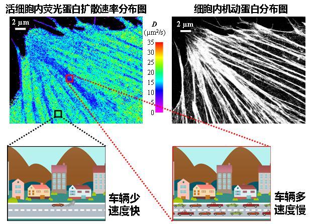 ais新闻:看清活细胞里分子运动速度的快慢 -美国华人科学家光学成像研究新成果